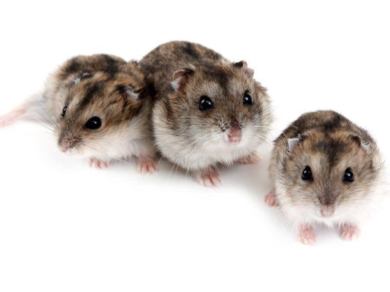 Die Haltung von mehreren Zwerghamstern ist selten, denn die kleinen Nager sind Einzelgänger – Bild: Shutterstock / RuslanKudrin