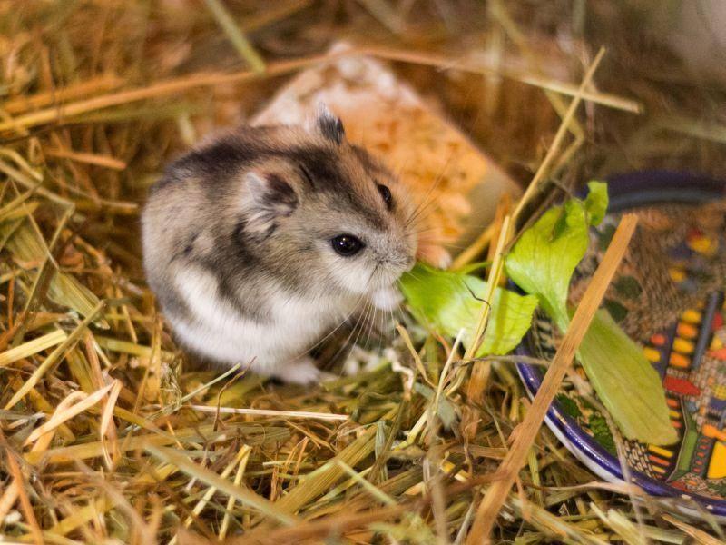 Körner, Kräuter, Gemüse und Früchte gehören zu den Lieblingsspeisen der Mini-Hamster – Bild: Shutterstock / jushik