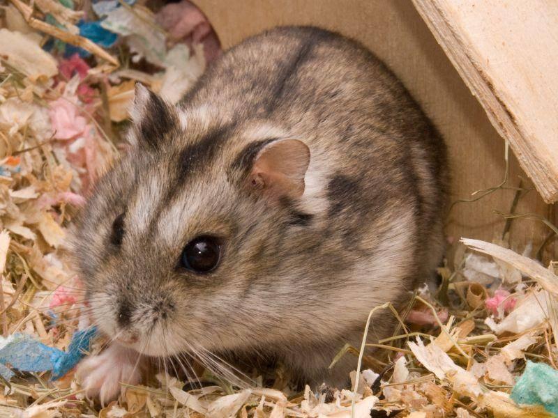 Ein Häuschen zum Schlafen und Verstecken ist ganz wichtig für den Hamster – Bild: Shutterstock / Hintau Aliaksei