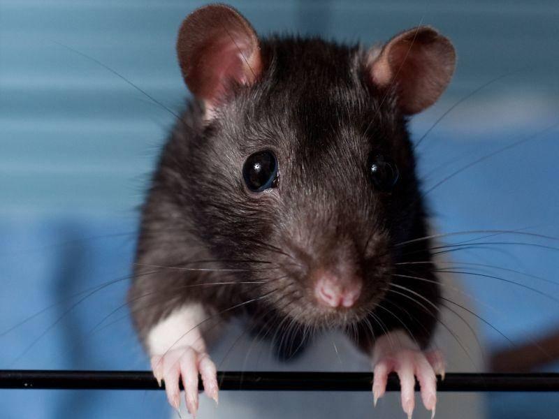 Ein großer Käfig und nach Möglichkeit Auslauf in einem rattensicheren Zimmer ist wichtig für das Haustier – Bild: Shutterstock / Anna Hoychukjpg