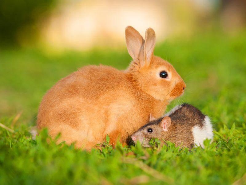 Seltene Begegnung: Kaninchen und Ratte – Bild: Shutterstock / Rita Kochmarjova