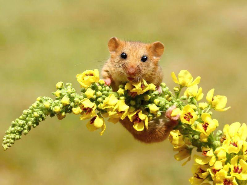 """Sportliche Haselmaus: """"Hey Leute, ich klettere an einer Blume herum!"""" – Bild: Shutterstock / Miroslav Hlavko"""