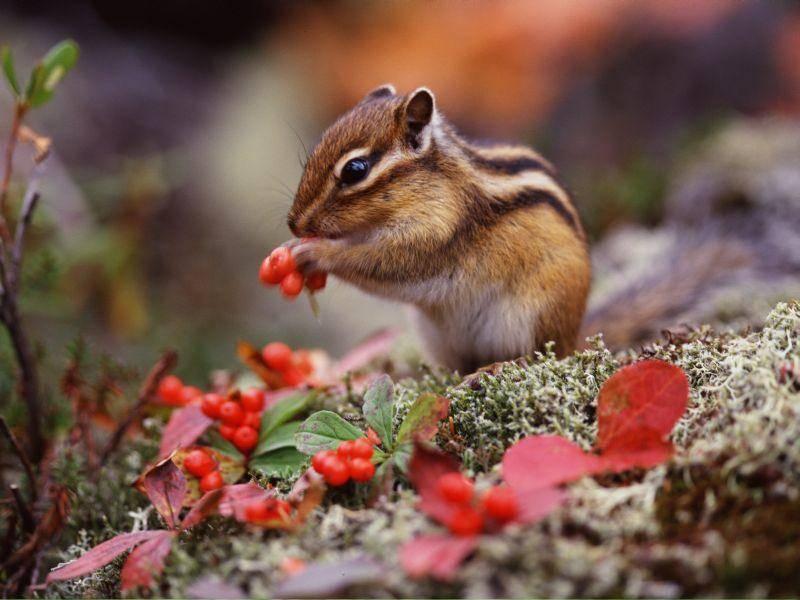 Blättchen, bunte Blümchen, Beeren: Das findet dieses Hörnchen gut! – Bild: Shutterstock / wizdata
