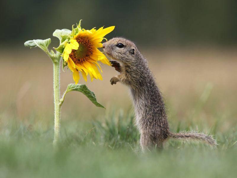 """""""Hm, eine Sonnenblume!"""", scheint dieses Hörnchen sich zu denken – Bild: Shutterstock / Miroslav Hlavko"""