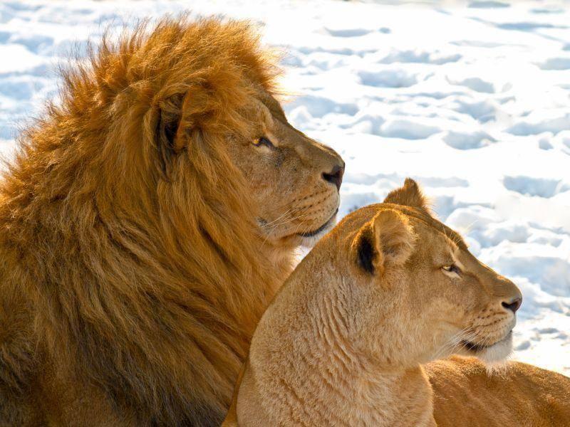 Und zum Schluss: Ein Löwenpaar genießt die Sonne – Bild: Shutterstock / Gert Lavsen