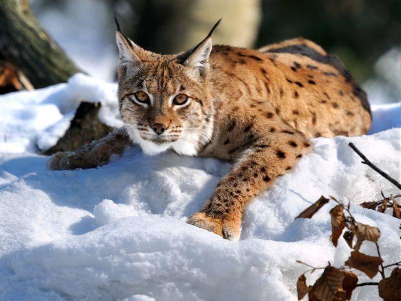 Im Schnee kann man schön spielen, findet dieser Luchs – Bild: Eduard Kyslynskyy