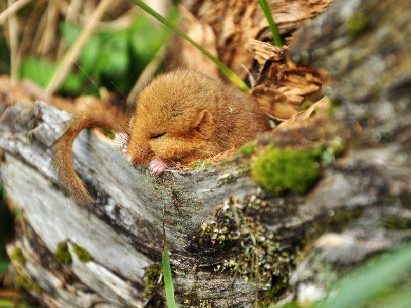 Eingemummelt ein Schläfchen machen: Schlaf schön, kleinen Haselmäuschen – Bild: Shutterstock / Kurkul