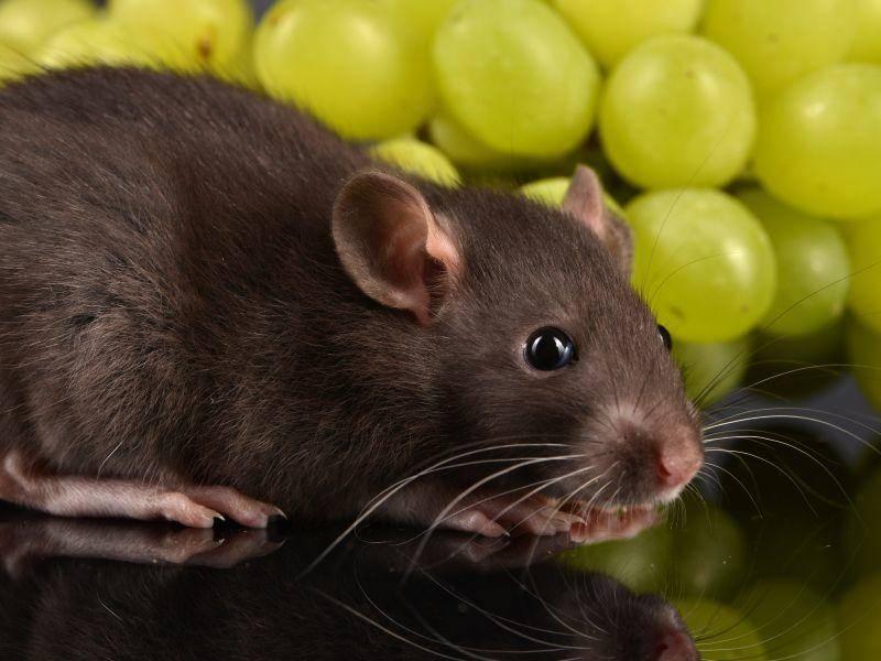 Die lustigen Nager gehören zu den Allesfressern. Körner, Obst und Gemüse tun ihnen gut – Bild: Shutterstock / photos2013