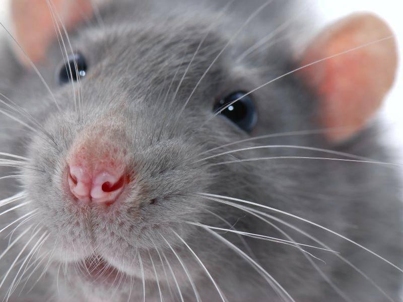 """Dieser graue Nager bildet das Schlusslicht in unserer Runde: """"Tschüss, das wars!"""" – Bild: Shutterstock / krechet"""