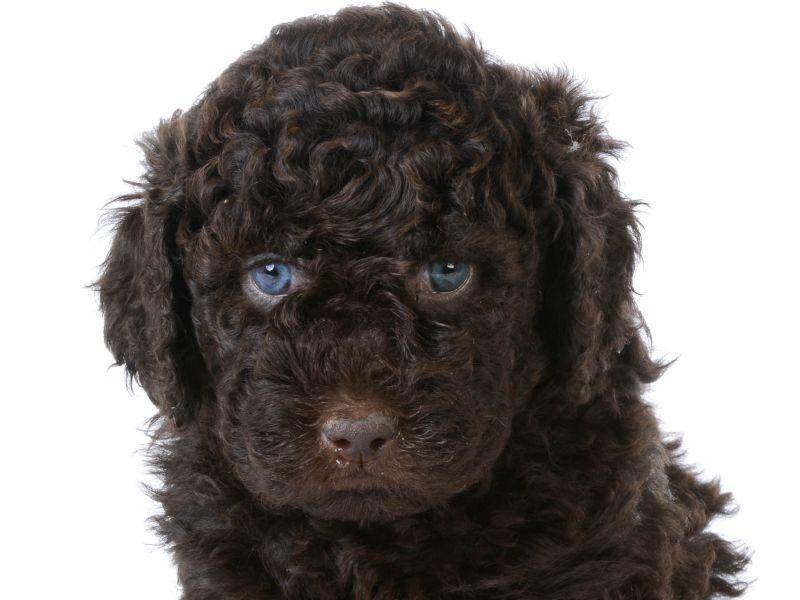Hundeblick perfektioniert: So süß, dieser kleine Barbet! – Bild: Shutterstock / WilleeCole Photography
