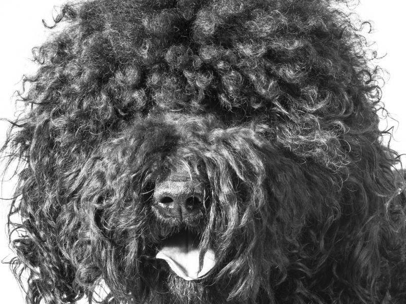 Damit sein Fell nicht verfilzt oder verklettet, muss der Hund oft gebürstet werden – Bild: Shutterstock / WilleeCole Photography