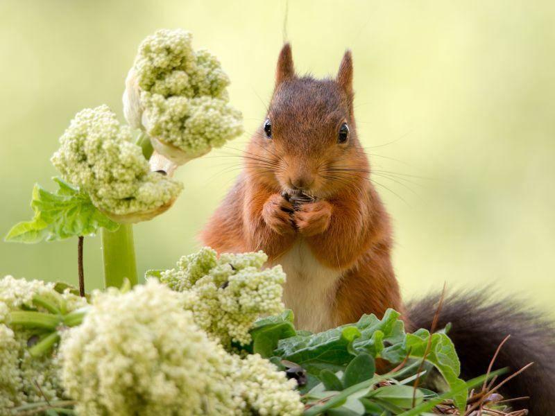 Pflanzen, die aussehen wie Broccoli: Eine Superkulisse für dieses Hörnchen – Bild: Shutterstock / geertweggen