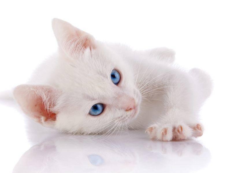Hellblaue Augen, flauschiges Fell – diese junge Katze ist tierisch schön – Bild: Shutterstock / Elya Vatel
