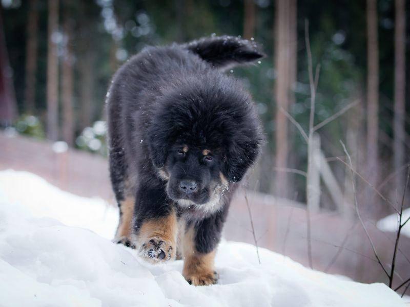 Die Tibetdogge kommt in verschiedenen Schwarz-, Rot- und Brauntönen vor – Bild: Shutterstock / dezi