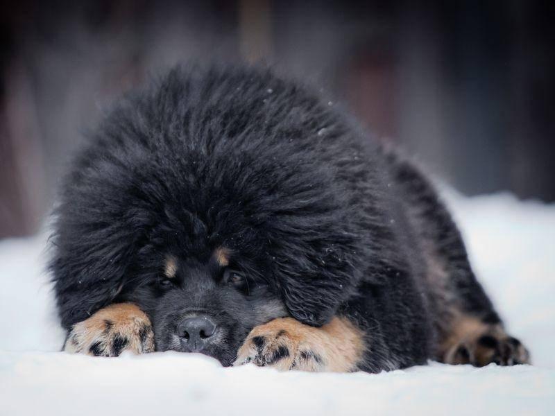 Gigantisch dieser Pelz, oder? Die letzte Tibetdogge in unserer Runde – Bild: Shutterstock / dezi