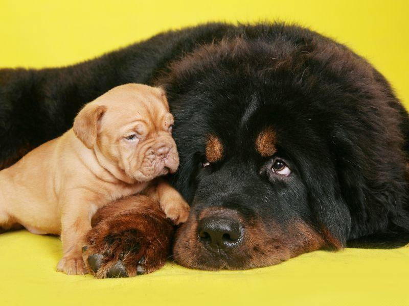 Wurde er gut sozialisiert, versteht er sich sehr gut mit anderen Hunde – Bild: Shutterstock / Artem Kursin