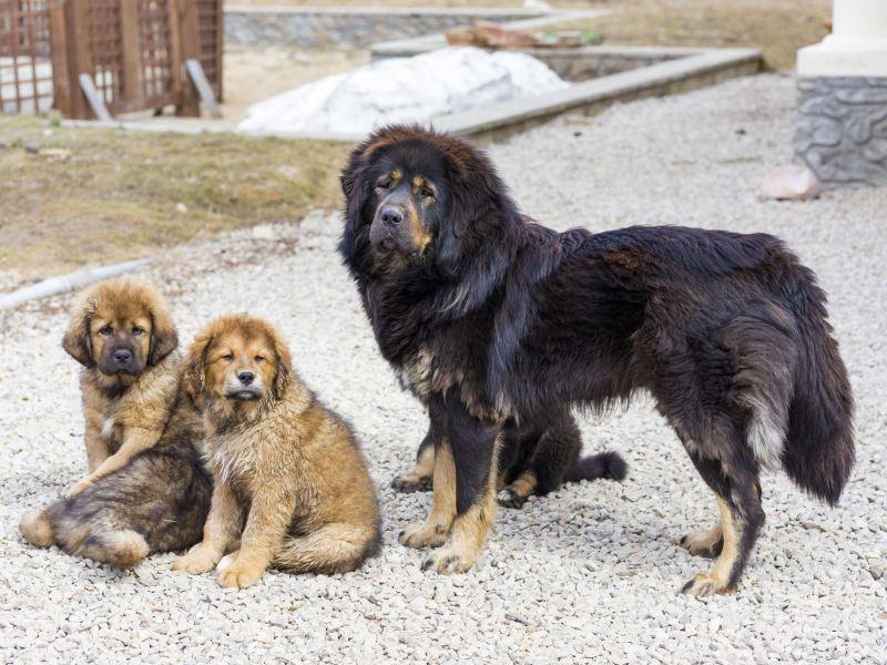 Auch auf seine Welpen passt die Tibetdogge natürlich sehr gut auf – Bild: Shutterstock / Sergey Lavrentev