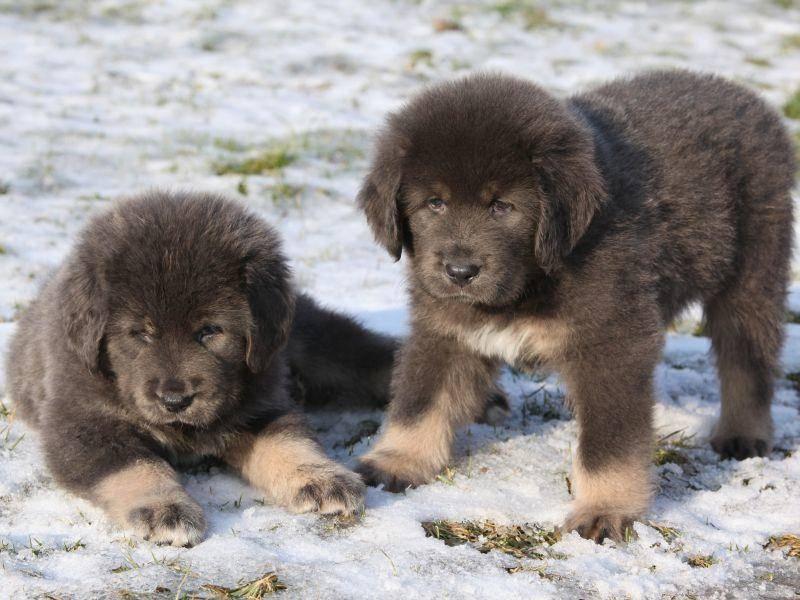Die Hunderasse kommt, wie der Name vermuten lässt, aus Tibet – Bild: Shutterstock / Zuzule