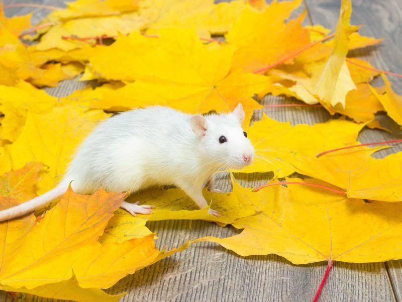 Freilauf auf der Terrasse: Diese Ratte genießt ihn – Bild: Shutterstock / gurinaleksandr