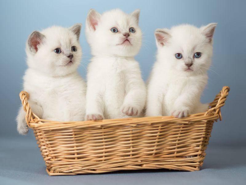 Zuckersüß: Ein Körbchen voller weißer Katzenbabys – Bild: Shutterstock / Andrey Kuzmin