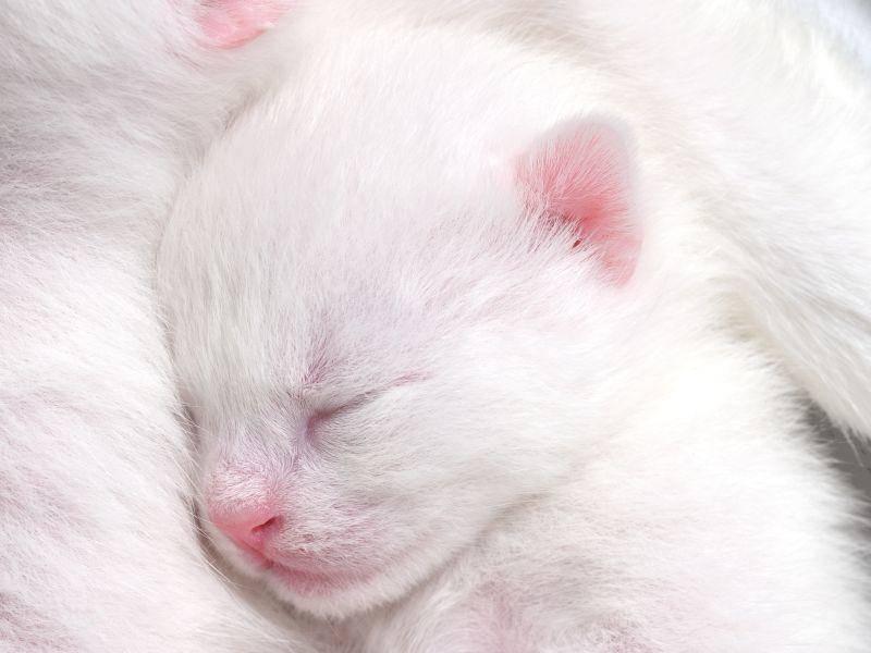Pssst, bitte nicht stören: Dieses weiße Katzenbaby ist erst ein paar Tage alt – Bild: Shutterstock / Levent Konuk