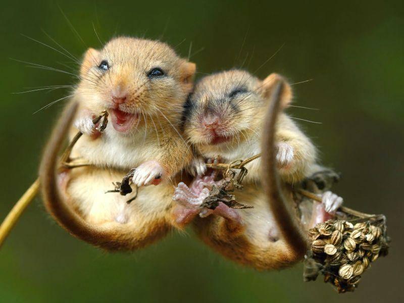 Kuscheln und Karaoke singen: Haselmäuse können beides gleichzeitig! – Bild: Shutterstock / Miroslav Hlavko
