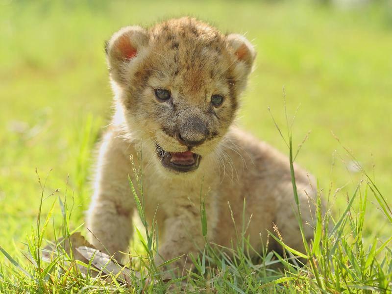 """""""So sehen wir Löwenbabys aus, wenn wir noch ganz klein sind!"""" – Bild: Shutterstock / Anan Kaewkhammul"""