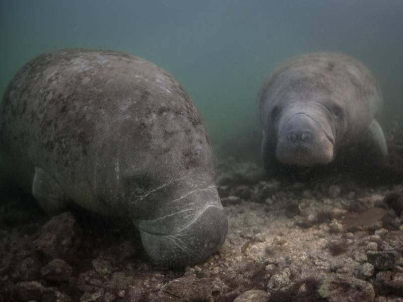 Ein bestimmtes Paarungsverhalten oder eine genaue Paarungszeit gibt es bei Seekühen nicht – Bild: Shutterstock / Ethan Daniels