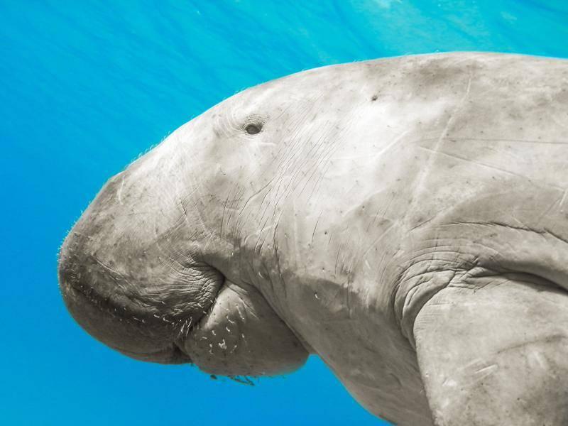 """""""Ich bin eine Seekuh, gehöre zu den Säugetieren und halte mich im Wasser und in Küstennähe auf."""" – Bild: Shutterstock / mrHanson"""