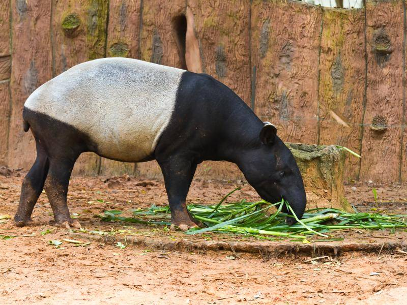 Tapire ernähren sich pflanzlich und bevorzugen vorwiegend weiche Nahrung – Bild: Shutterstock / konmesa