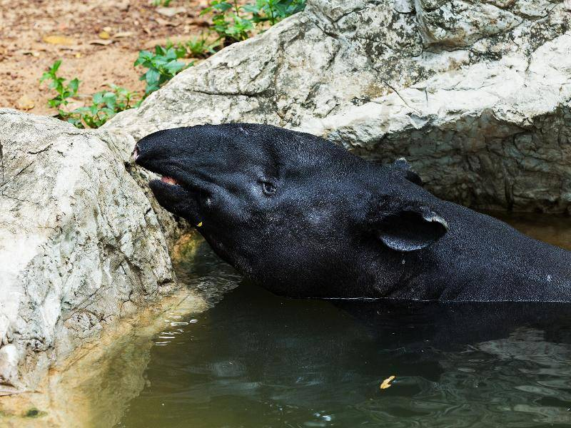 Außerdem ist es für Tapire sehr wichtig, Wasser in ihrer Nähe zu haben – Bild: Shutterstock / subin pumsom
