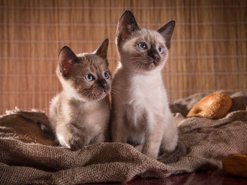 Am wohlsten fühlt sich die soziale Tonkanese mit einem tierischen Artgenossen – Bild: Shutterstock / dezi