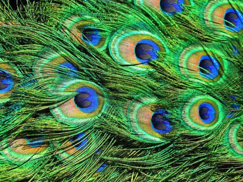Die wunderschönen Pfauenfedern können bis zu anderthalb Meter lang werden – Bild: Shutterstock/ lawless
