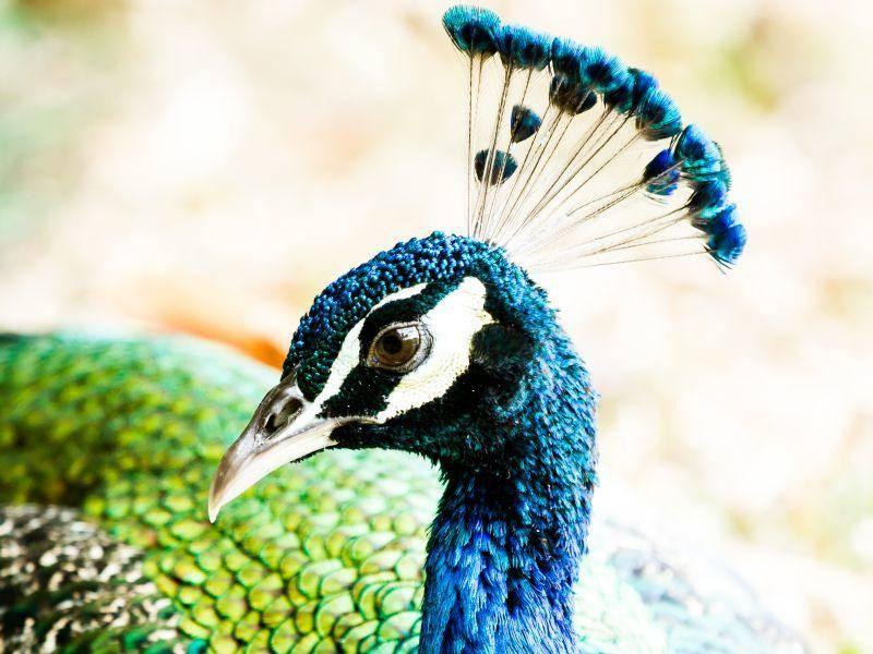 Das Pfauenmännchen weiß auch mit seinem bunt schimmernden Kopfschmuck zu begeistern – Bild: Shutterstock / lightofchairat