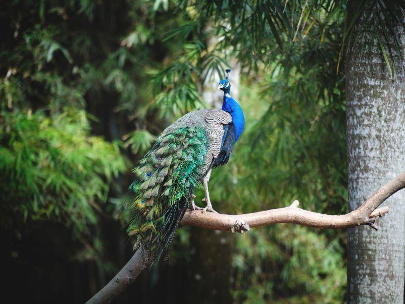 Dschungellandschaften auf dem indischen Subkontinent sind der ursprüngliche Lebensraum von Pfauen – Bild: Shutterstock / Chumash Maxim