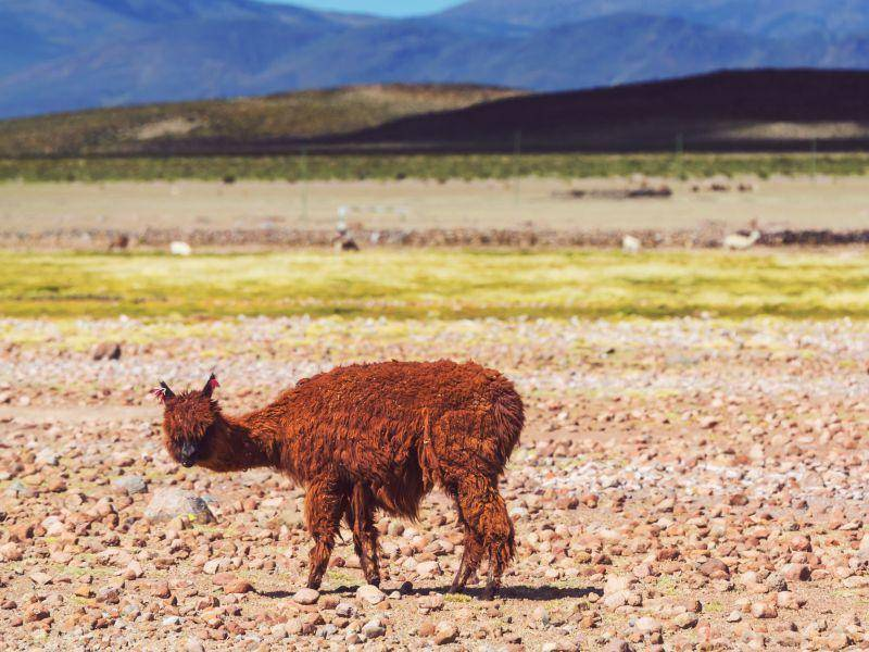 """""""Hat mich jemand gerufen?"""" Das gutmütige Lama ist ein aufmerksames Tier – Bild: Shutterstock / Galyna Andrushko"""