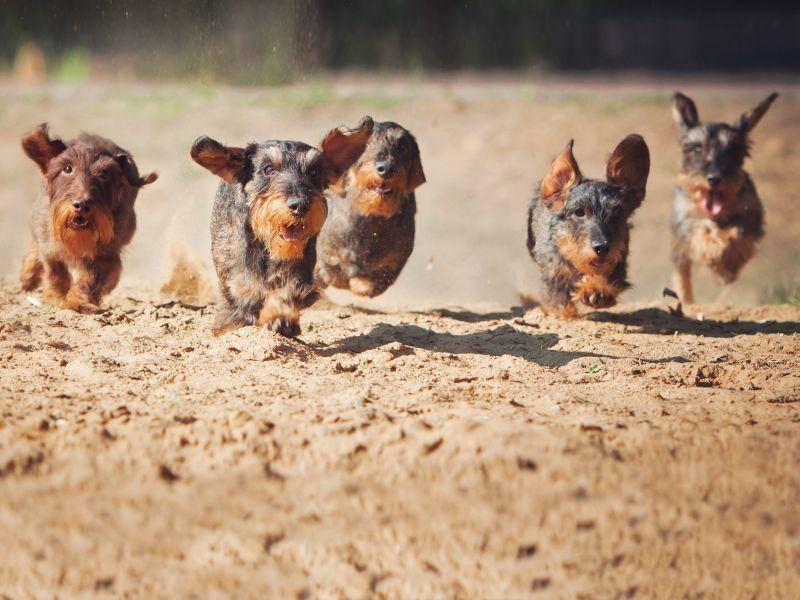 Die munteren Vierbeiner lieben Ausflüge in die Natur über alles – Bild: Shutterstock / Maria Ivanushkina