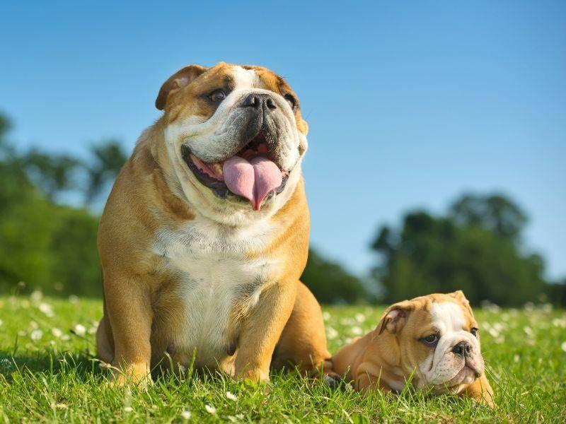 Englische Bulldoggen erkennt man gut an ihrer massigen Statur – Bild: Shutterstock / Tatiana Katsai