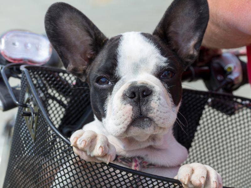 So sieht die Französische Bulldogge als Welpe aus – Bild: Shutterstock / Kwiatek7