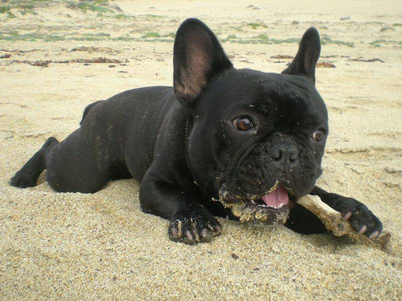 Französische Bulldoggen sind mit ihren Fledermausöhrchen schwer zu übersehen – Bild: Shutterstock / Ev Thomas