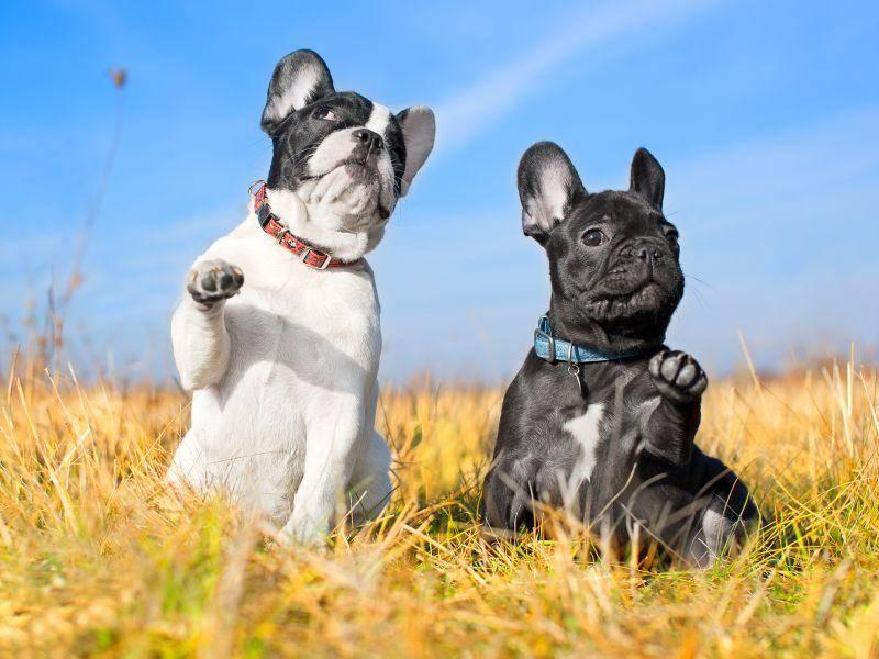Die Französische Bulldogge ist sehr verspielt – Bild: Shutterstock/ Tatiana Katsai