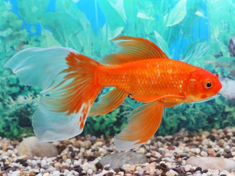 Wenn sie nicht in Aquarien gehalten werden, leben die Fische in Teichen und pflanzenreichen, ruhigen Gewässern – Bild: Shutterstock / Grigorii Pisotsckii