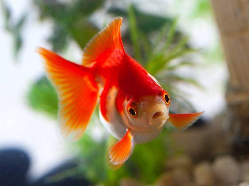 Wer den Goldfisch gut und artgerecht hält, hat lange Freude an ihm ... – Bild: Shutterstock / motorolka