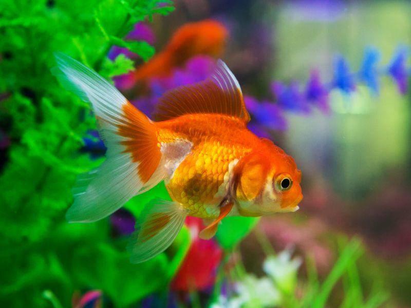 ... die orangefarbenen Fische können nämlich über 20 Jahre alt werden – Bild: Shutterstock / subin pumsom