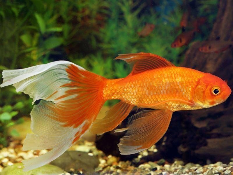 Eine Wassertemperatur von 16 bis 22 Grad ist für den Goldfisch angenehm – Bild: Shutterstock / Grigorii Pisotsckiijpg