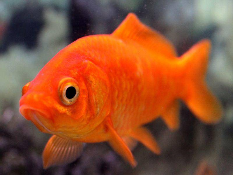 Ein Goldfisch aus der Nähe: Die orange-roten Fischchen sind beliebte Haustiere – Bild: Shutterstock / Napat