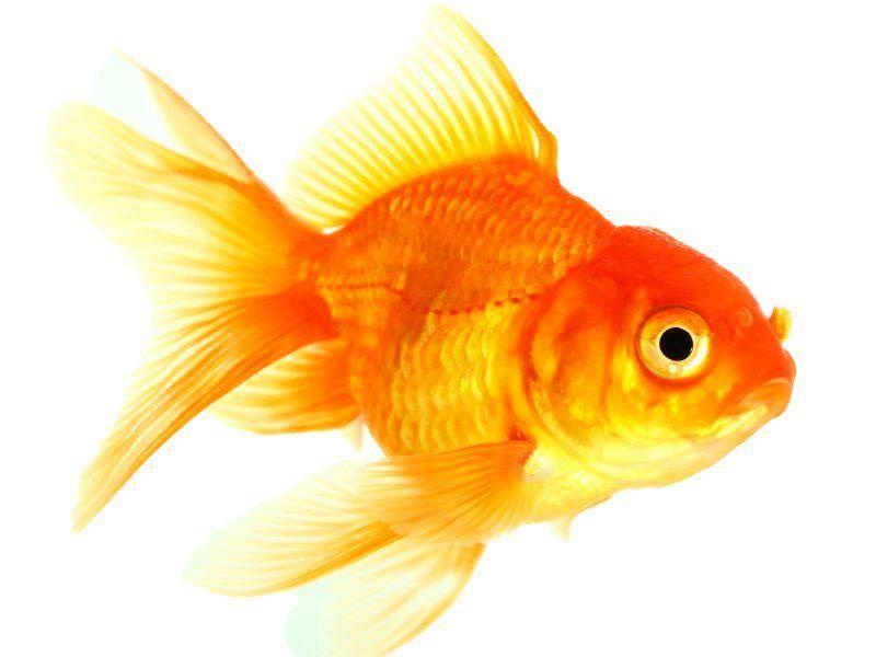 Je nach Art können Goldies bis zu 35 cm lang werden – Bild: Shutterstock / Napat