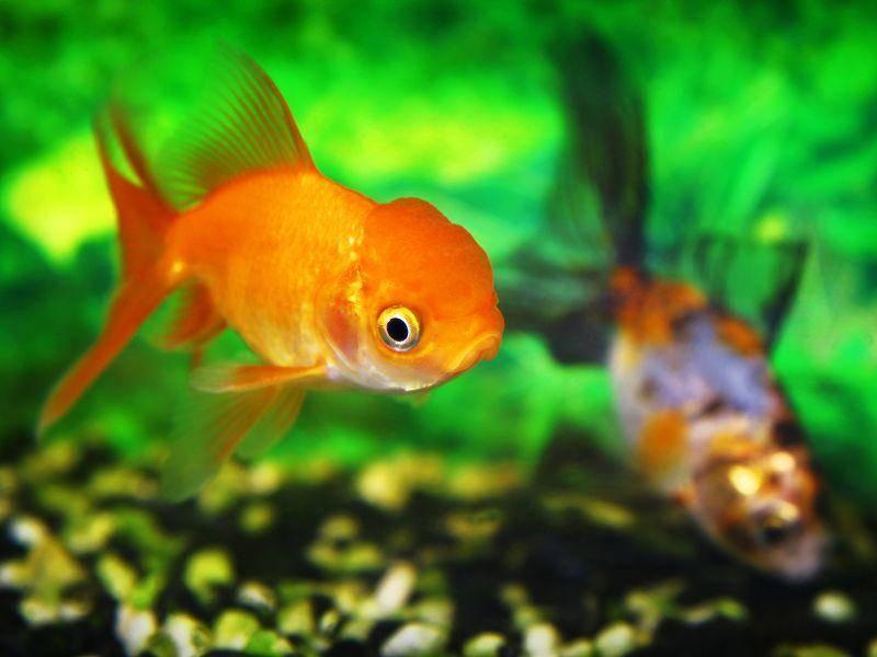 vZur Pflege gehört außerdem, dass das Aquariumswasser regelmäßig ausgetauscht wird – Bild: Shutterstock / innaphoto