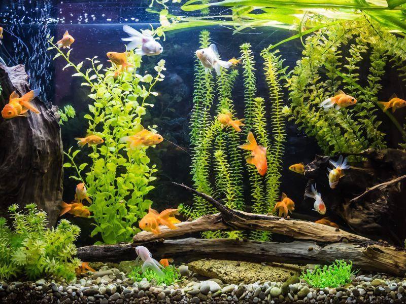 Goldies brauchen ein großes Aquarium, viel Platz zum Schwimmen und Pflanzen zum Verstecken – Bild: Shutterstock / S-F