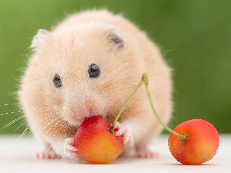 """""""Mm, lecker, Kirschen!"""", denkt sich Hamster Nummer drei – Bild: Shutterstock / stock_shot1"""